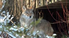 Hoe coyotes en mense kan leer om saam te leef in stede