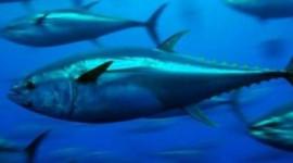 مهاجرت ماهی ها نشان می دهد که اقیانوس ها گرم می شوند
