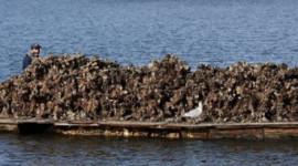 酸性海洋威脅數十億美元的牡蠣業務